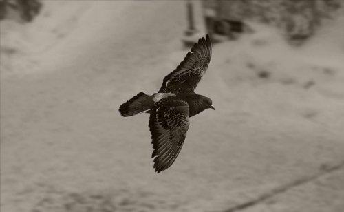 Свободная птица